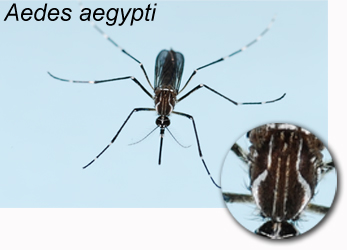 Image result for dengue aedes mosquito