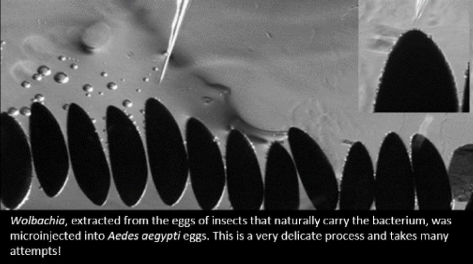 EggMicroinjection_1